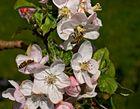 Apfelblüten mit Bienen!