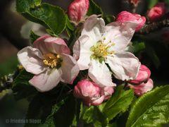 Apfelblüten_2