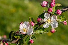 Apfelblust