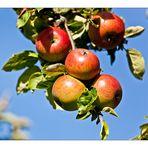 Apfelernte 2