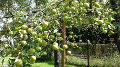 Apfelernte 2011 - Golden Delicius alte Sorte ungespritzt und trotzdem makellos