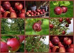 Apfelernte!