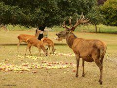 Apfelernte bei den Hirschen