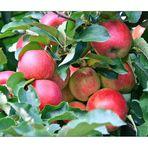 Apfelernte ist sehr lecker :-))