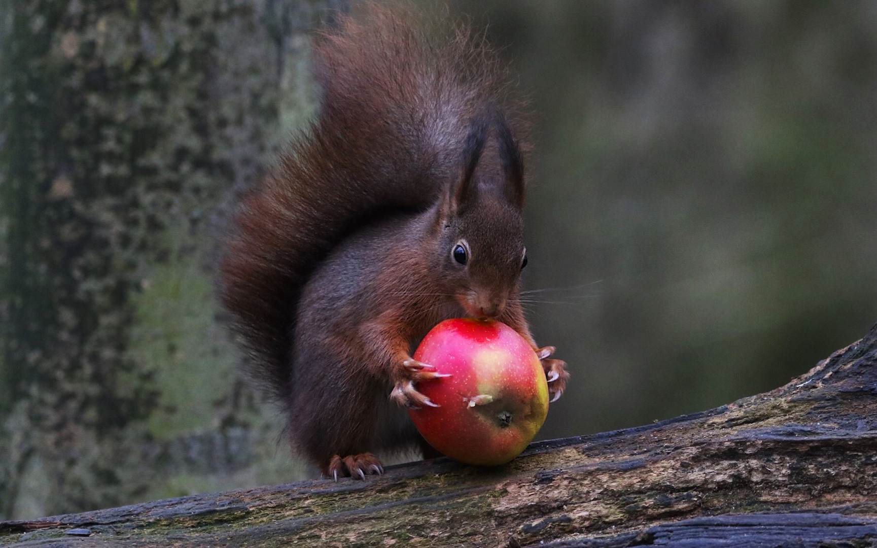 Apfelroller