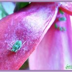 Aphid Astray