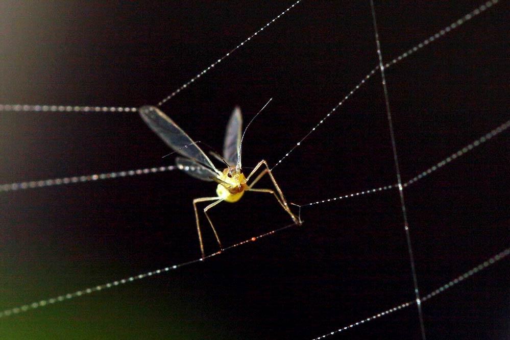 Aphidoidea - gefangen im Netz