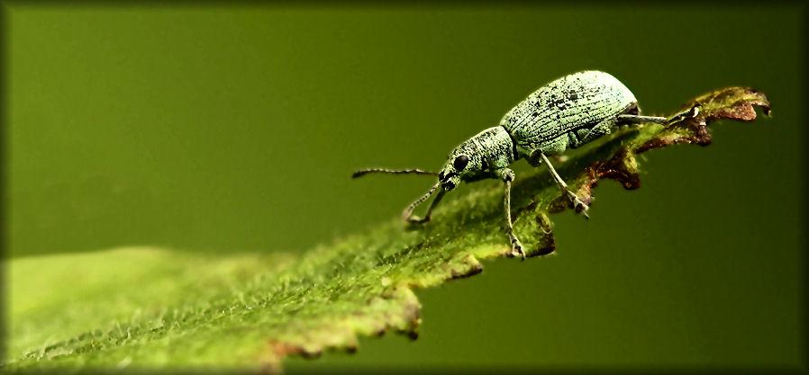 Aphis on leaf.