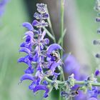 Apis mellifera an Salvia officinalis