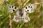 Apollofalter (Parnassius apollo) - 2 -