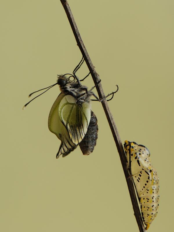 Aporia crataegi (Linnaeus,1758)