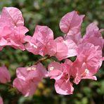 apostrofo rosa