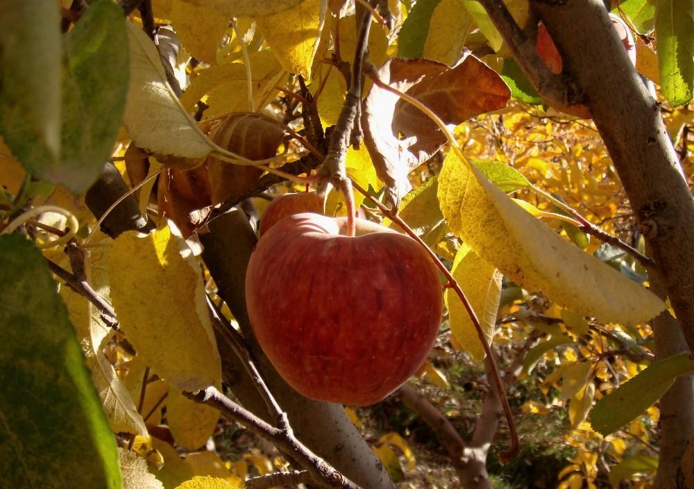 Apple & Autumn
