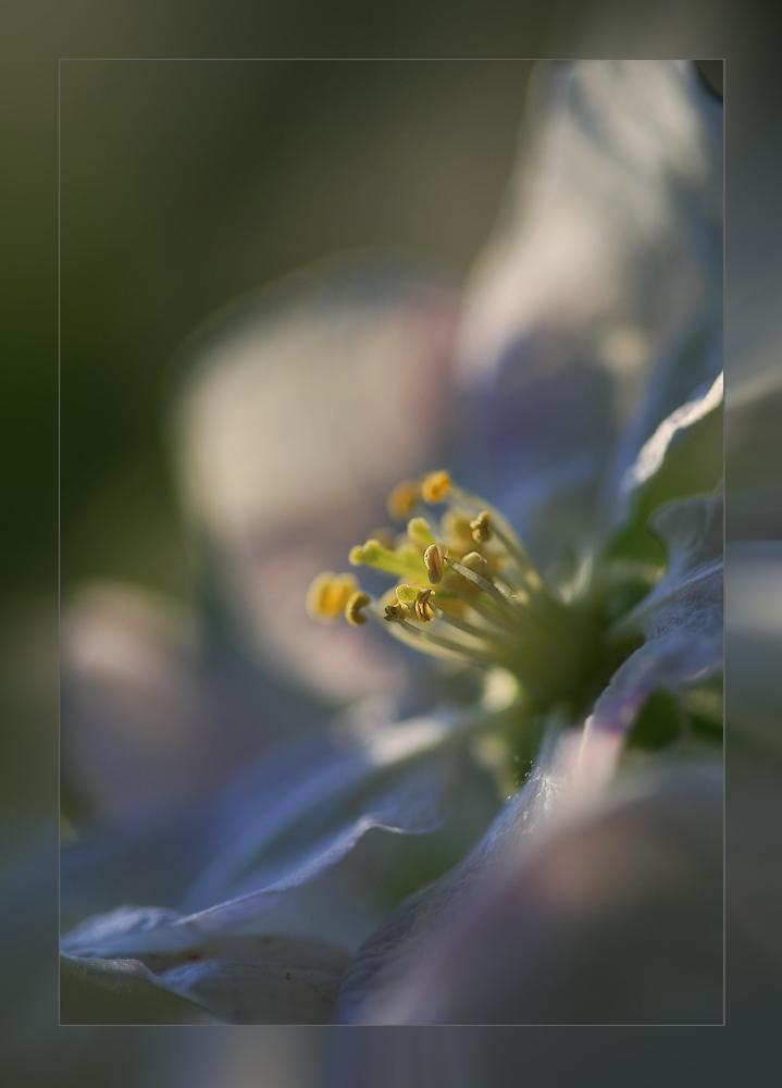 ---Apple blossom---