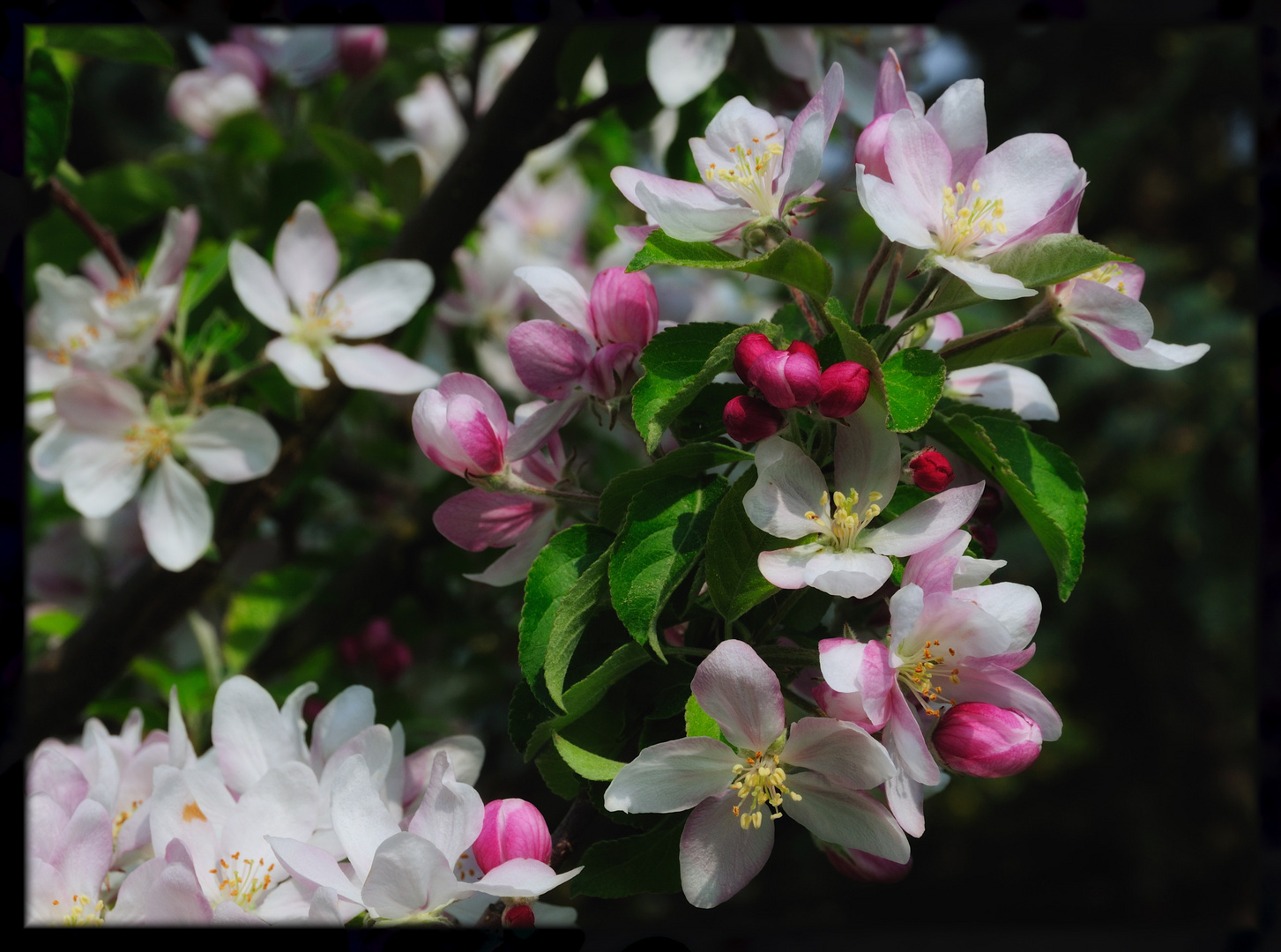 apple blossom blessing ...