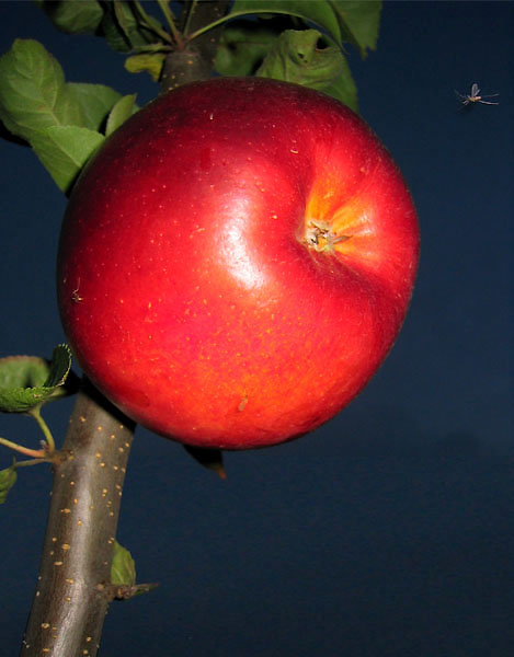 Apple in the night (with small fly)