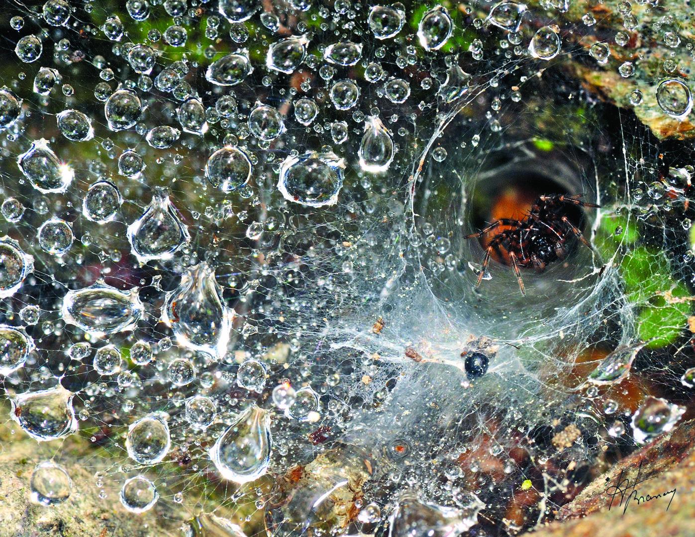 Après la pluie l'araignée inspecte sa toile a la recherche de nouvelles proies.