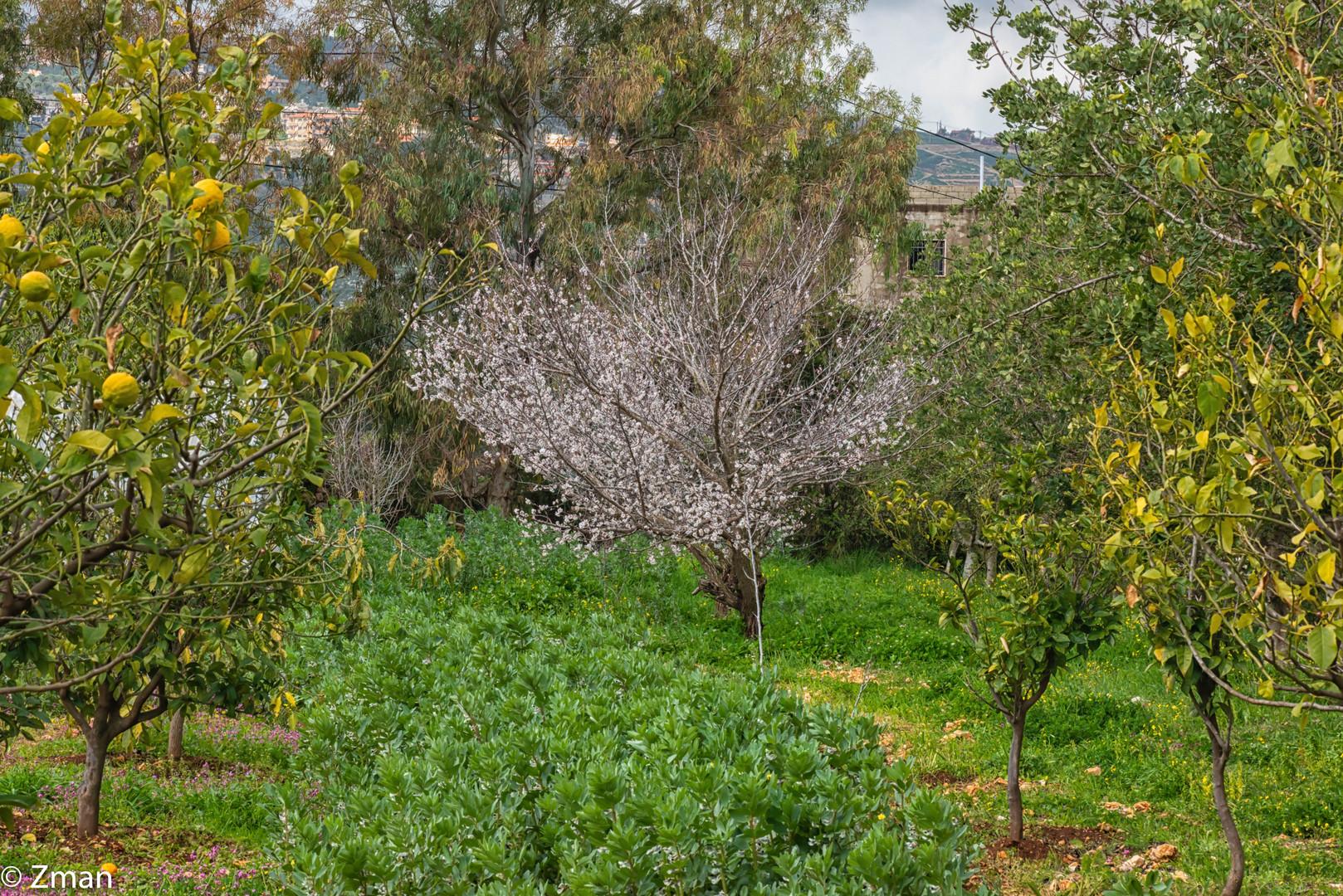 Apricot and Lemon Trees SPO_5422-29