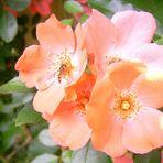 Apricot-Rose vor der Haustür meiner Eltern