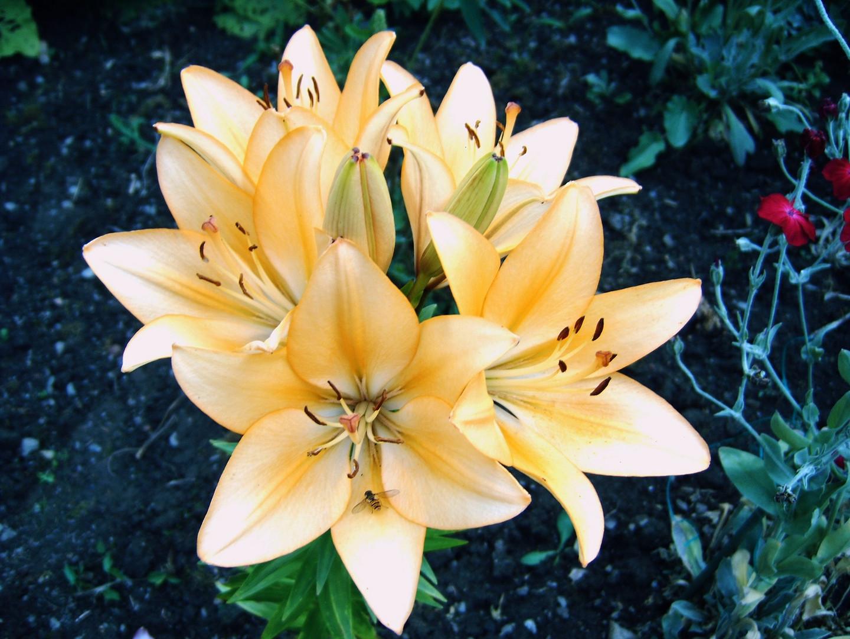 Apricotfarbene Lilie Foto Bild Pflanzen Pilze Flechten