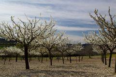 Aprikossenbäume