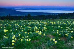 Aprilglocken und Alpenglühen