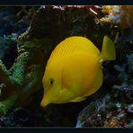 Aquarium-Fisch