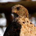 Aquila africana (Tanzania)