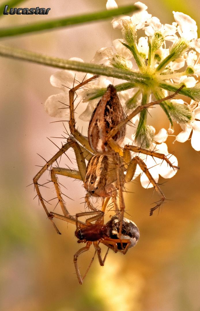 Araña canibal.