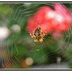 Araña de jardin o de cruz (Epeira diademata)