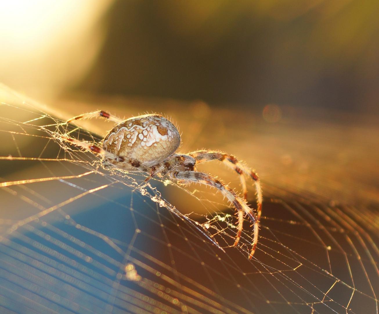 Araña de la cruz. Araneus Diadematus. European garden spider. Cross spider .Cross orbweaver.