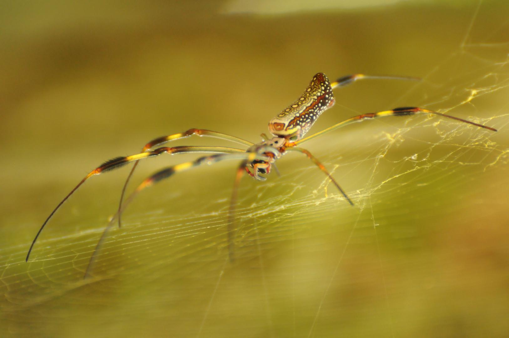 araña desconocida