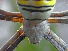 Araña Tigre (Detalle)