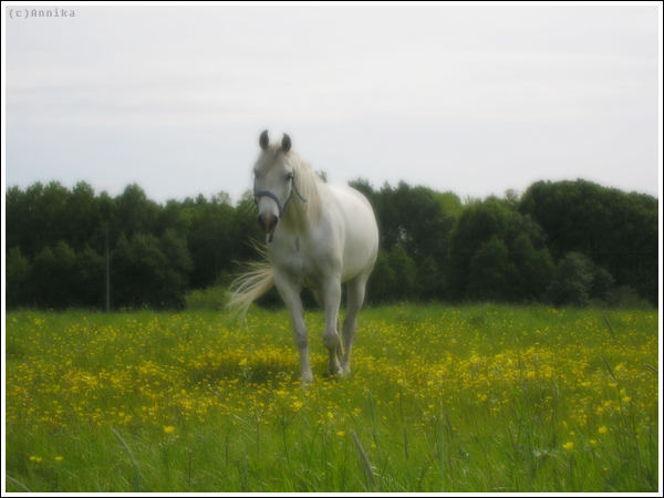 Arabian mare in field