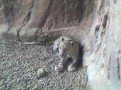 Arabischer Leopard, Arabia's Wildlife Centre, Desert Park, Sharjah, Vereinigte Arabische Emirate