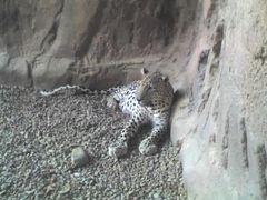 Arabischer Leopard (Panthera pardus nimr), Arabia's Wildlife Centre, Sharjah, Emirate
