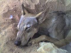 Arabischer Wolf (Canis lupus arabs), Arabia's Wildlife Centre Sharjah, Vereinigte Arabische Emirate