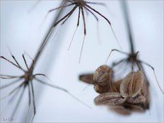arachnida herbaria