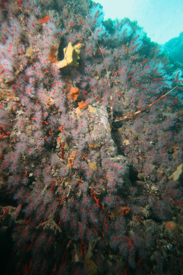 aragosta tra i coralli