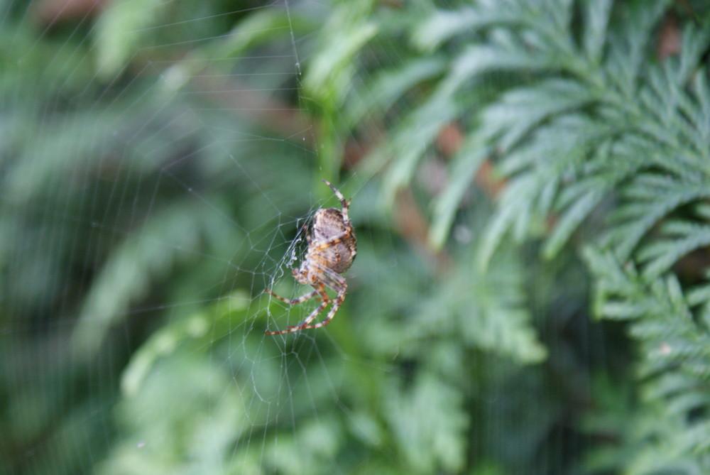 araigné