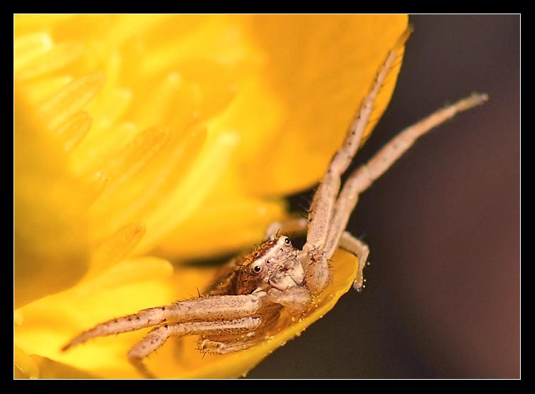 Araigné crabe