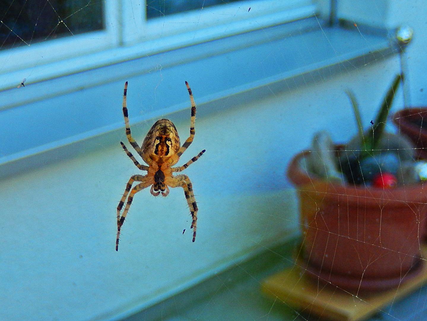 Araignée / Araña / Spinne