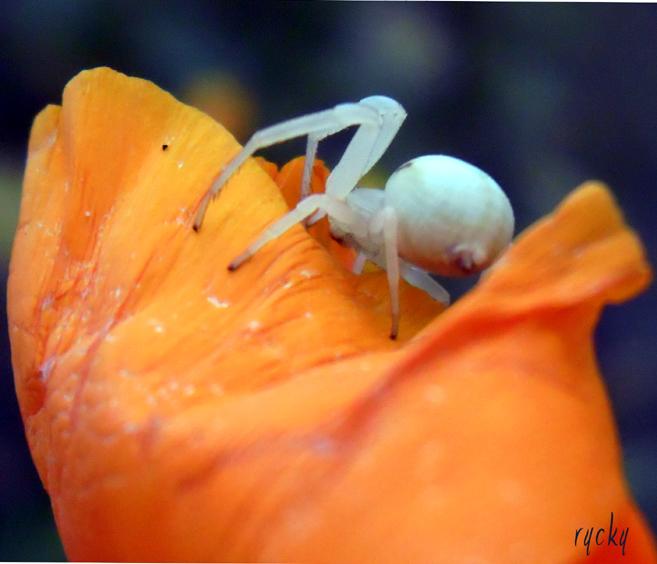 Araignée blanche...