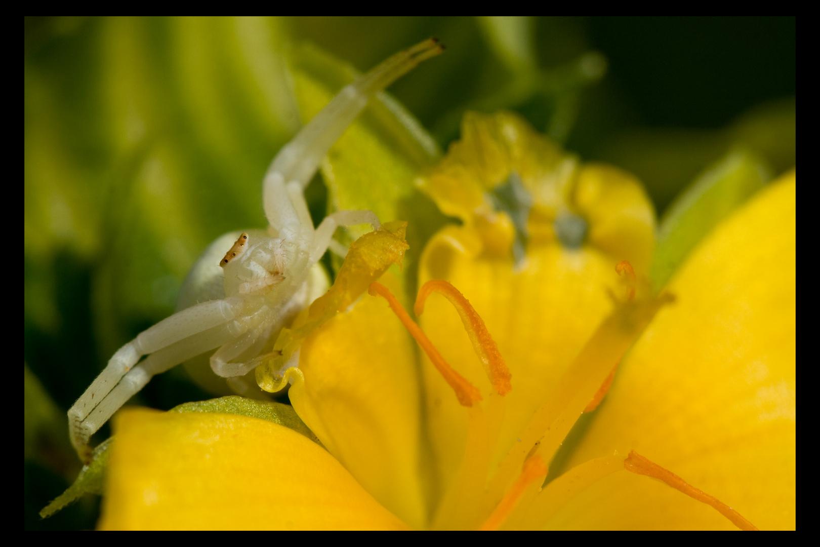 Araignée-crabe