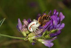 Araignée crabe et sa proie (une abeille mellifère)