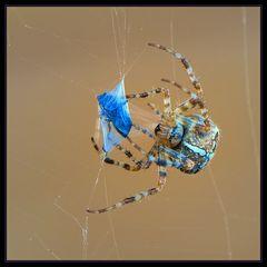 Araignée de la Croix (Araneus) 1