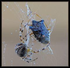 Araignée de la Croix (Araneus)