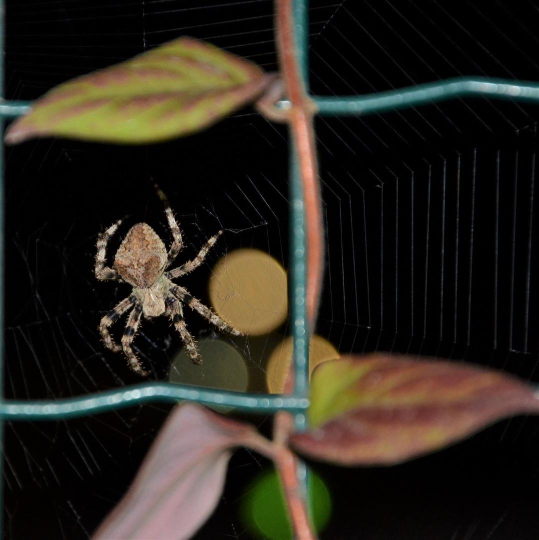 Araignée du soir bonsoir
