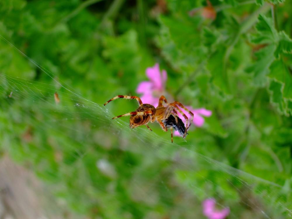 araignée en plein festin