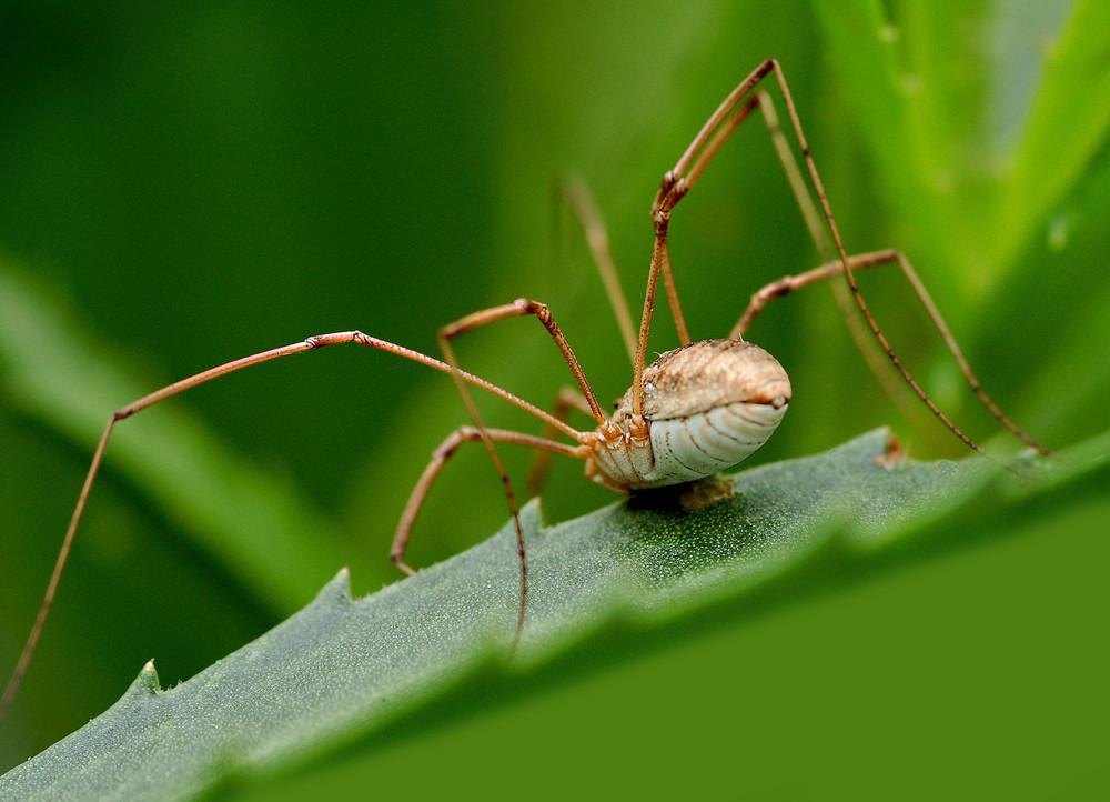 """Faucheux Araignée araignée """"le faucheux """" (phalangium opilio) photo et image   macro"""